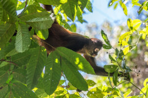 The canopy of the Costa Rican Jungle is full of life. Spider Monkeys are everywhere but it is hard to find them, when they aren't hiding behind leaves.