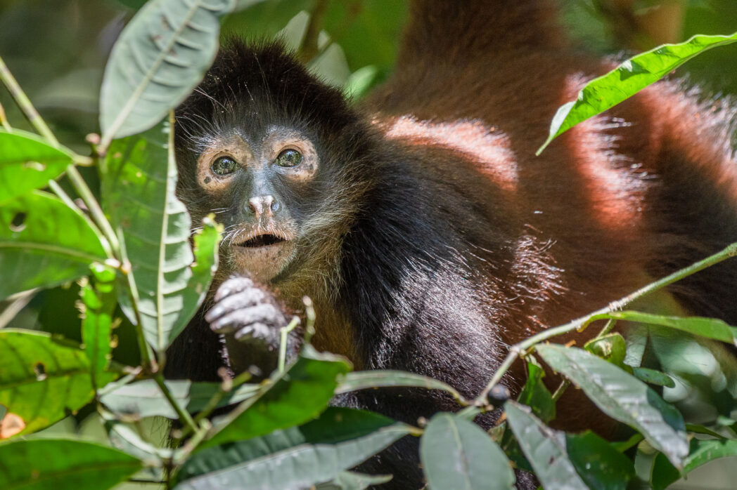 Spending time with spider monkeys in the jungle is a joy. They are just such curious creatures and if you aren't threatening will just watch you while you eat.
