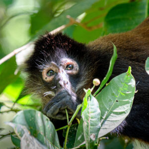 This spider monkey in Corcovado National Park was kind enough to come down to my level. Mostly they feed up in the canopy but this one was a bit closer at hand.