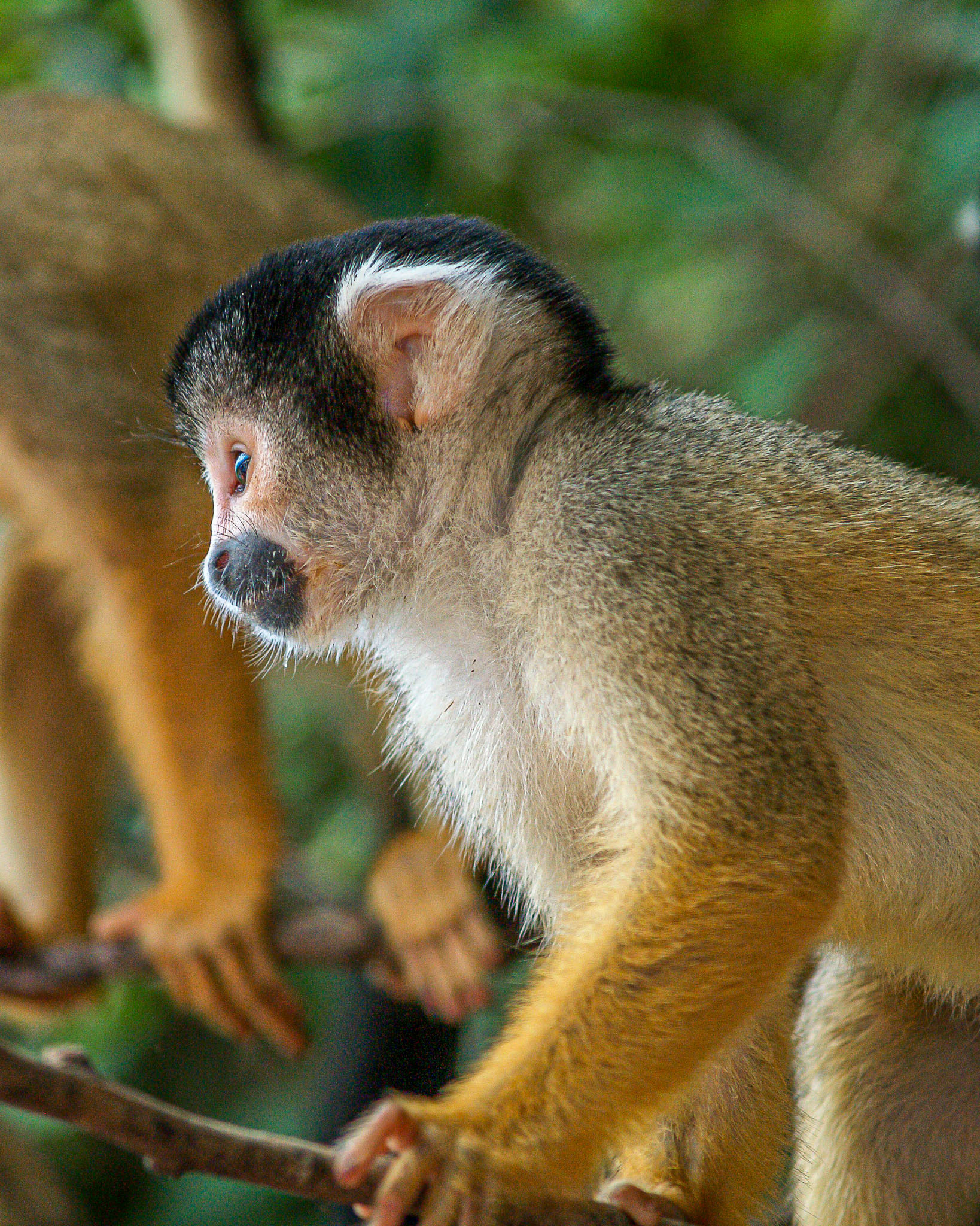 Squirrel Monkeys are common in the jungles and forests around the Amazon basin in the Bolivian Lowlands. However seeing them isn't so easy unless they come to the edges of the forest. This cute troop came to the waters edge while we were heading upstream in a motorised canoe.