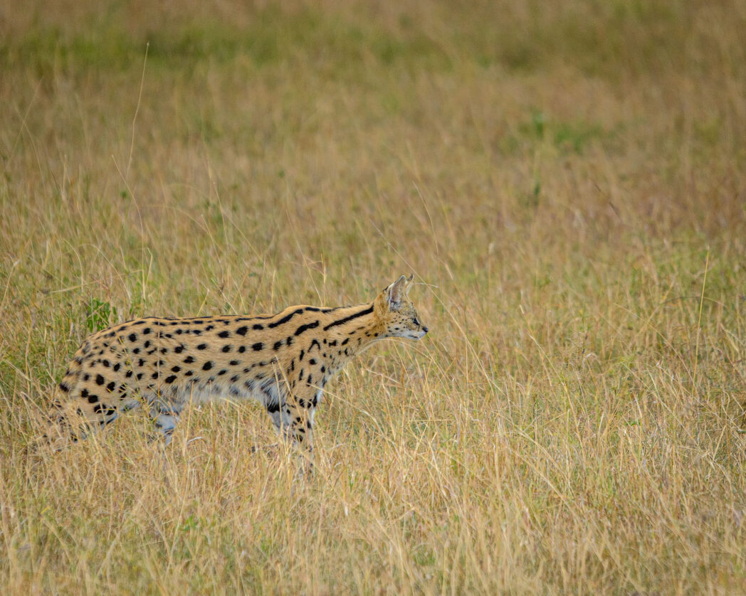 Serval's are one of Africa's lesser known cats. This is only because their size fails to grab the attention the way the big cats do. However they are equally adept at hunting and stalking and are amazing to see in the flesh.