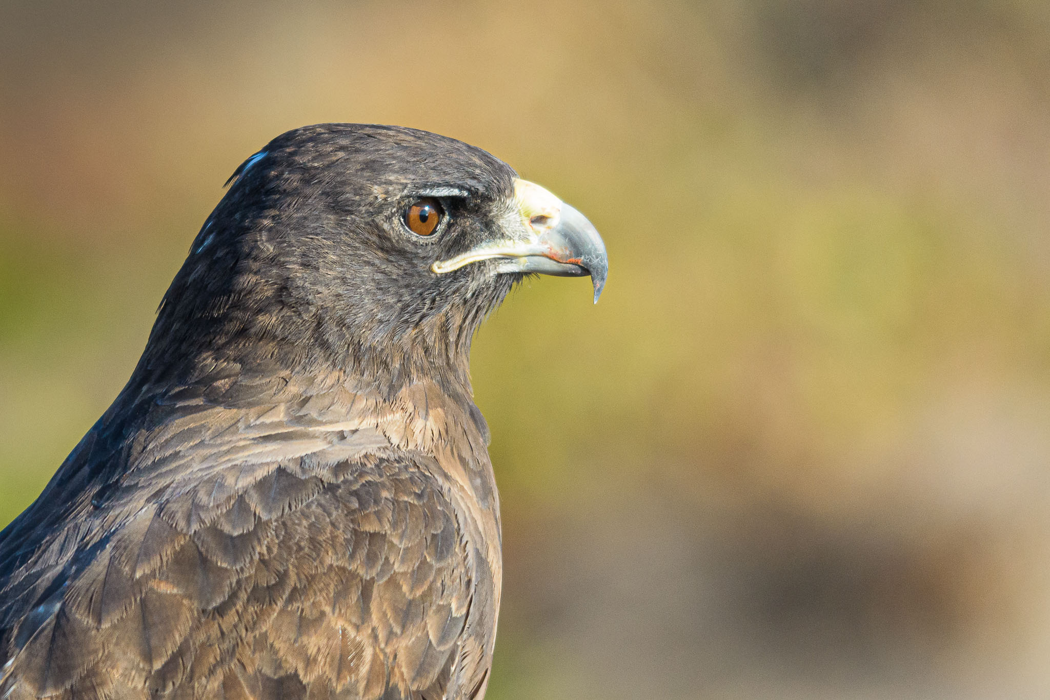 The Galapagos Hawk is one of the few land basted predators on the Islands. He really has nothing to be afraid of and often can be captured down at ground level.