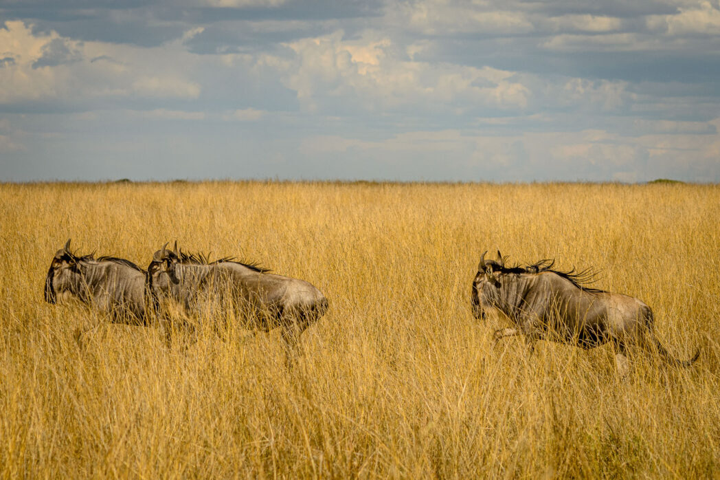 There are many things hiding in the long grasses of the Serengeti. When the grasses grow long the servals, mice and other mini creatures have lots of space to hide. Wildebeest on the other hand are everywhere.