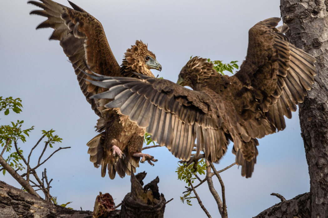 These two young brown snake eagles got into a fight over a leopard tortoise. I had been watching one alone for quite a while as he struggled to get at the interior of the tortoise's shell. Once he flew up to the tree the second came along to steal dinner.