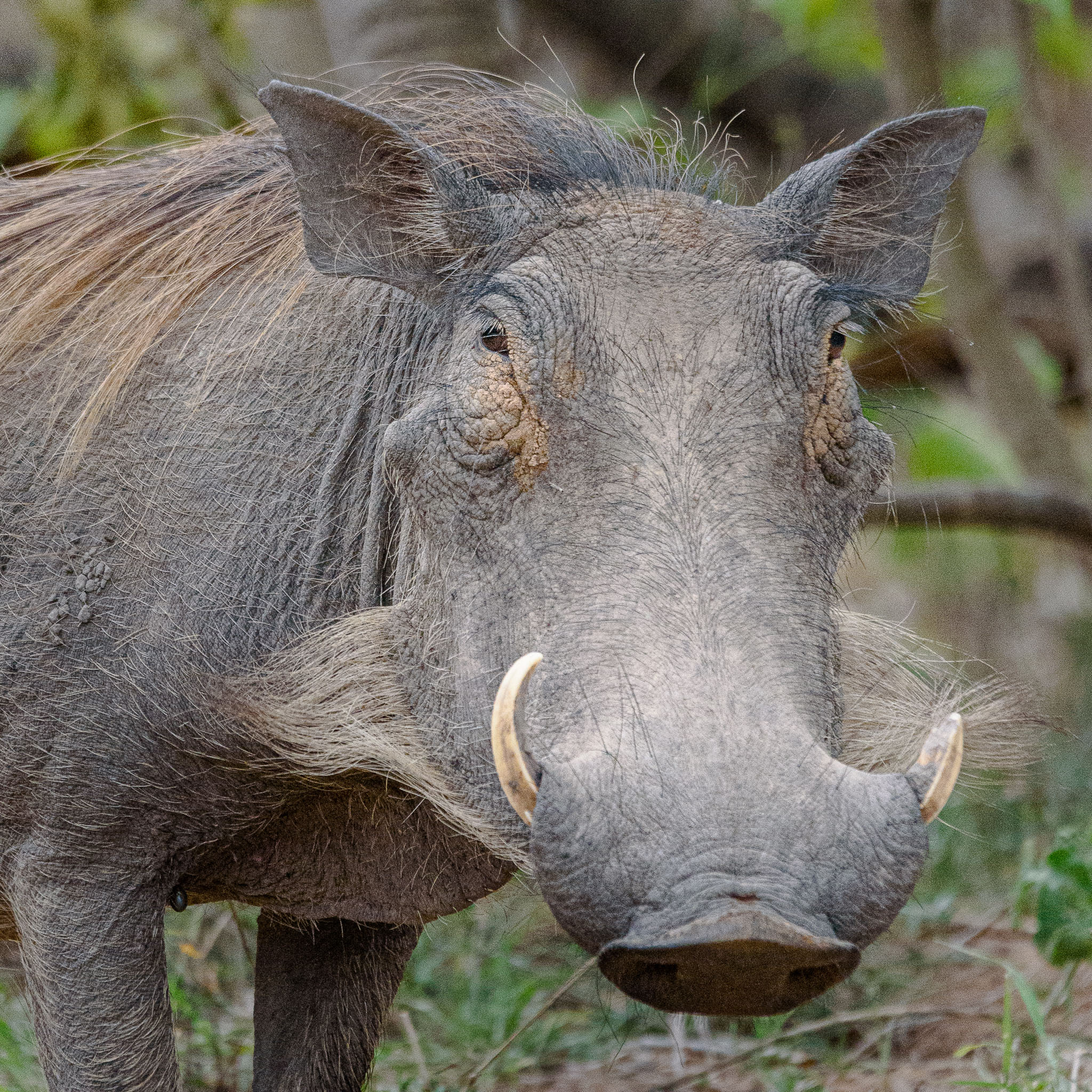 Warthogs might not be everybody's idea of a beautiful creature. I think though that some can have a bit of charm.