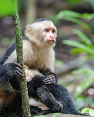 In Manuel Antonio National Park I met a group of capuchin monkeys and this watchful mother. Even though it is one of the busiest parks with tons of people this band were willing to feed near to the pathways and so gave me plenty of photo opportunities.