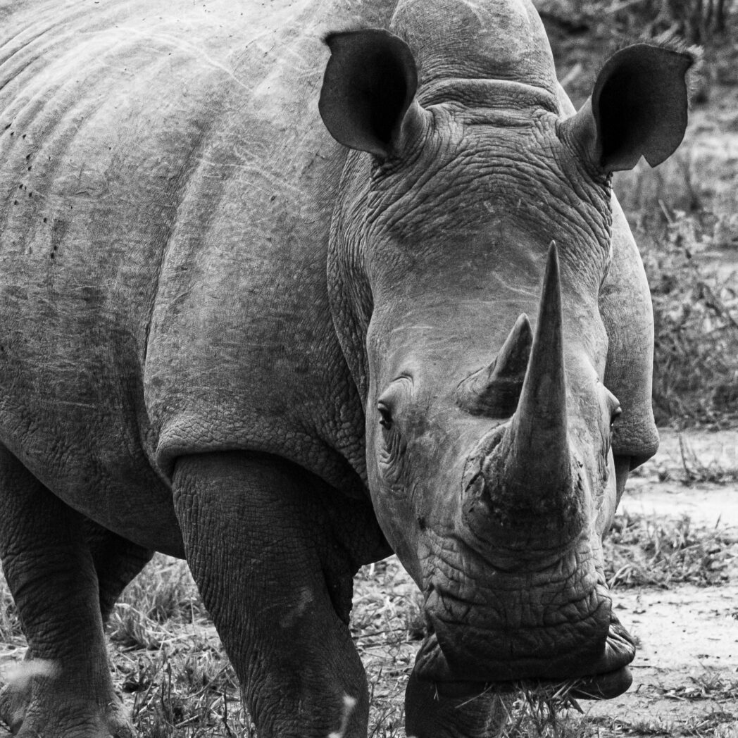 It is amazing that these creatures, that are build like a tank, would be threatened by anything. However humans have created weapons that easily out gun rhinos. 150 years ago when rifles were weak rhinos were considered one of the stronger animals. Today though we have to look after them as all rhino species are endangered.
