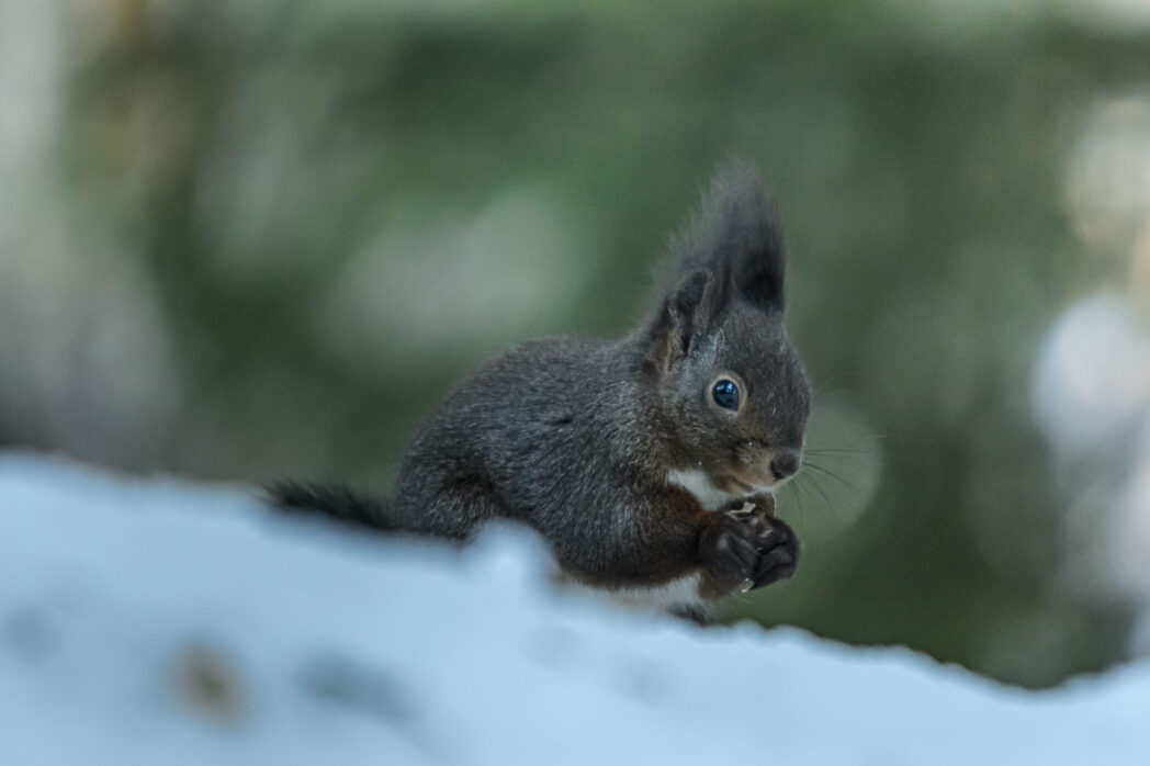 It isn't often that you see squirrels in the winter but the ones near Seefeld in Tirol, in the Austrian Alps are active all the time. The food available due to humans is enough to keep them happy in the colder months.