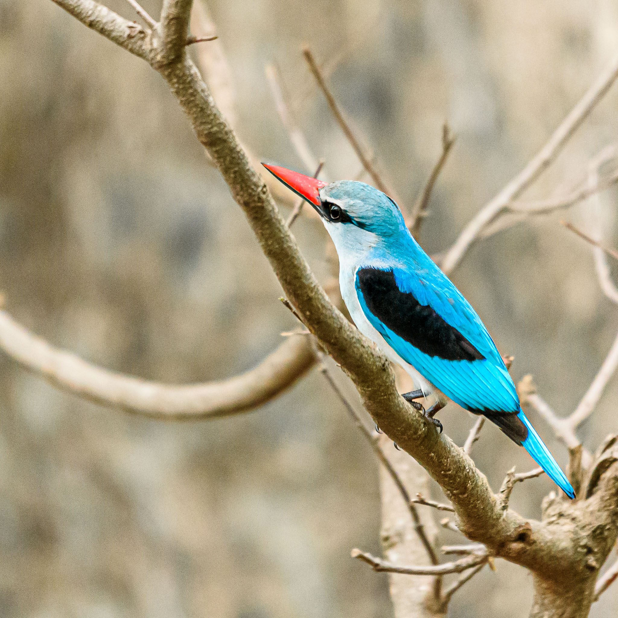 The drought of the last few years in the Kruger has left a lot of rivers dried up. This woodland kingfisher was captured above one of these dry rivers. At the moment he is reduced to 'diving' for insects rather than fish.