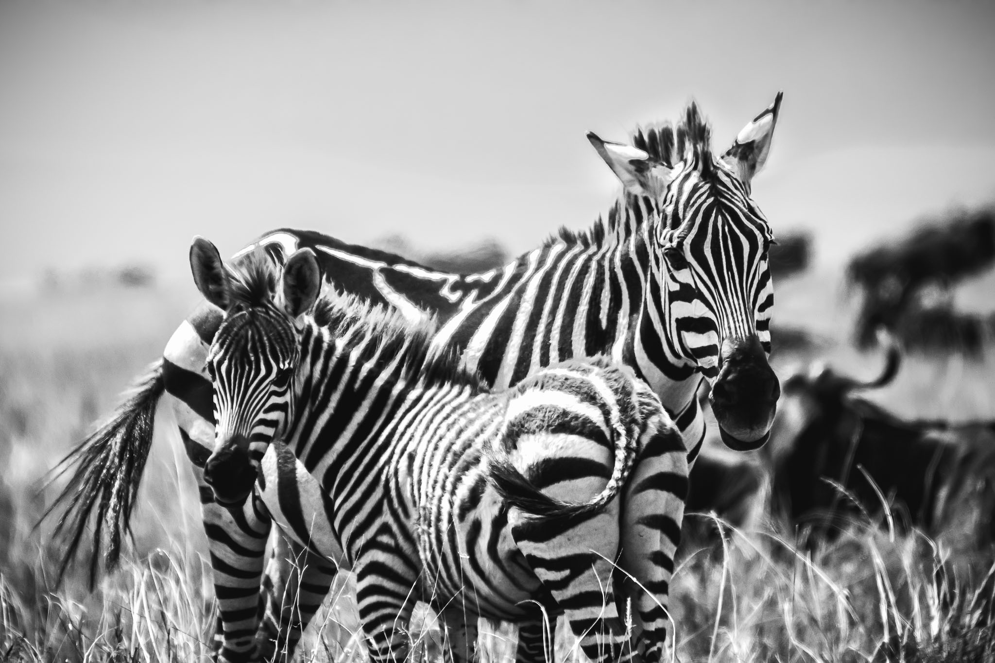 The stripes of a zebra is designed to blend into the stripes of another when seen by a predator from afar. Normally the young are a bit more brown than black but I probably wasn't sure which end was the mother and which was the young until I got home and went through my images.