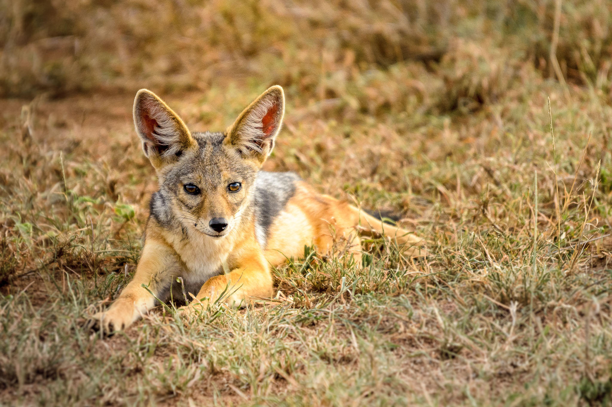 What is the young of a Jackal called? Does it matter, he is just a cute looking puppy. Of course a photo doesn't tell the complete story but just before this he was playing with his brothers just like any domestic puppy would.